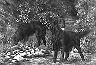 Flatcoat Retriever fine art print by Mike Sibley