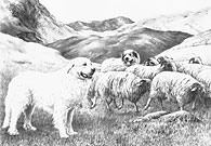 'Pyrenean #1' Pyrenean Mountain Dog (Great Pyrenees) fine art print by Mike Sibley
