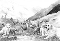 'Pyrenean #2' Pyrenean Mountain Dog (Great Pyrenees) fine art print by Mike Sibley