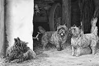 Cairn Terrier fine art limited edition print