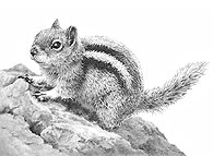 'Golden Mantled Ground Squirrel' - fine art print by Mike Sibley
