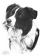 Border Collie open edition print