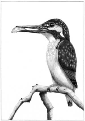 Grahame's Kingfisher graphite pencil drawing