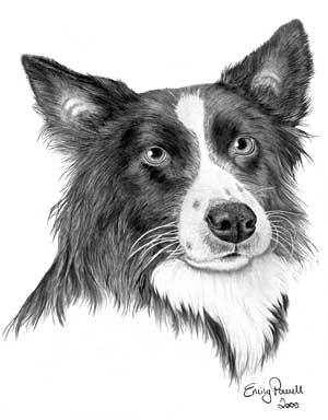Emily's Border Collie graphite pencil drawing